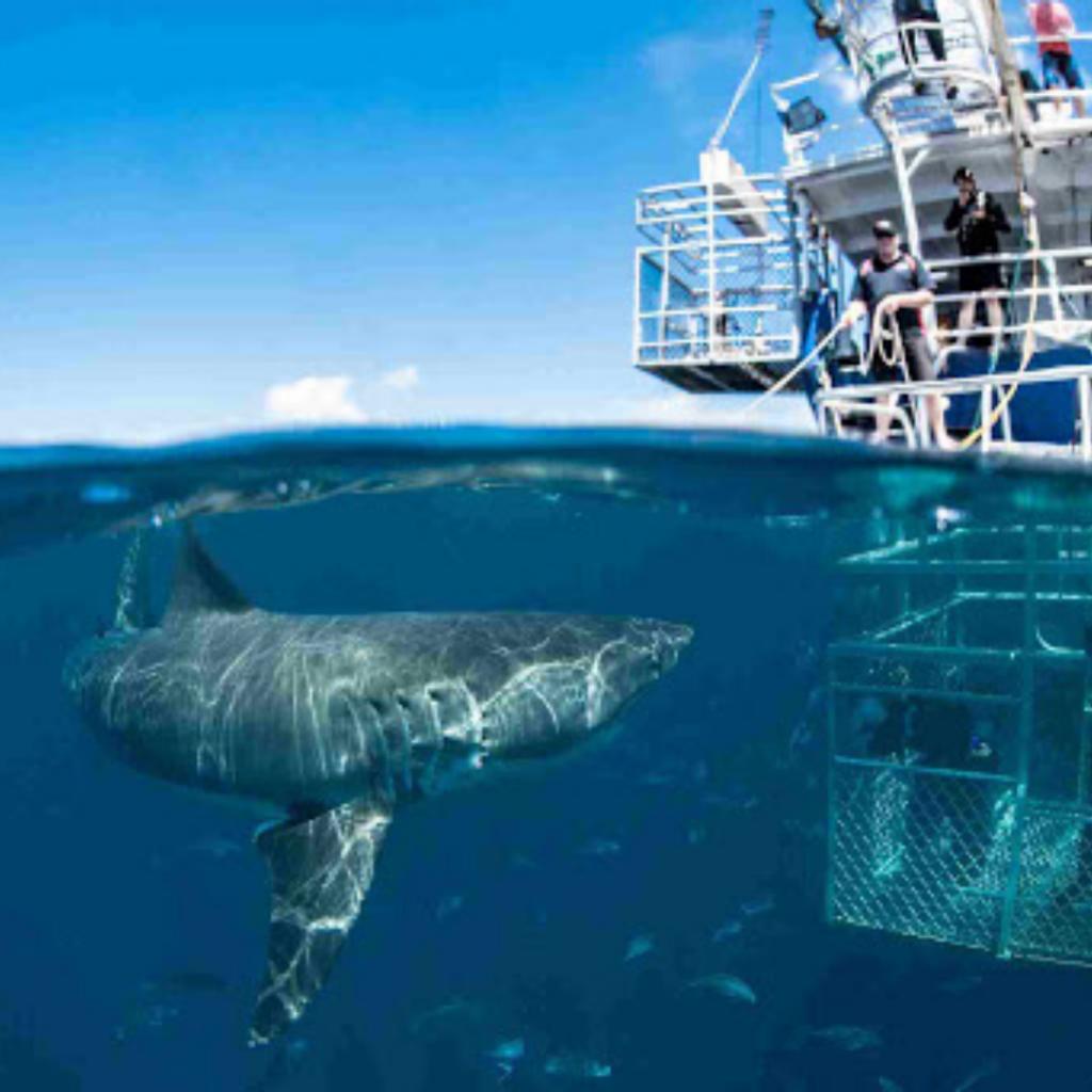 Shark Ocean Safari
